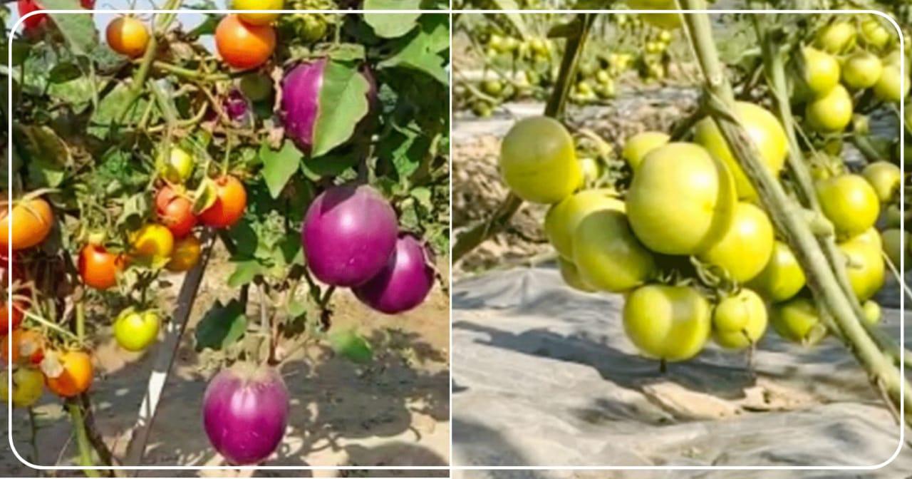 किसान ने किया कमाल, एक छोड़ में उगाई दो सब्जी, टमाटर के छोड़ पर आए बैंगन