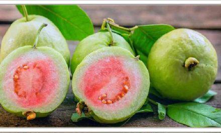 अमरूद न केवल एक फल है बल्कि एक चमत्कारी दवा है, इसके अपार लाभों के बारे में जानने के लिए यहां क्लिक करें